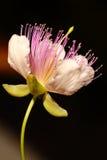 Fiore del cappero Immagine Stock Libera da Diritti