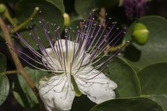 Fiore del cappero Immagini Stock