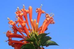 Fiore del caprifoglio Fotografie Stock Libere da Diritti