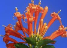 Fiore del caprifoglio Immagine Stock