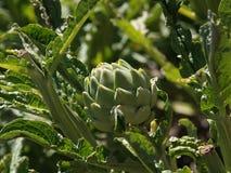 Fiore del carciofo sulla pianta Fotografia Stock