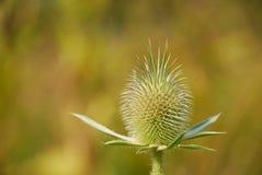 Fiore del cardo selvatico Immagine Stock