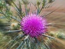Fiore del cardo selvatico Immagini Stock
