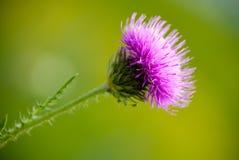 Fiore del cardo selvatico Fotografie Stock
