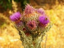 Fiore del cardo selvatico Fotografia Stock Libera da Diritti