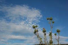 Fiore del cardo selvatico Fotografie Stock Libere da Diritti