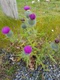 Fiore del cardo selvatico Fotografia Stock