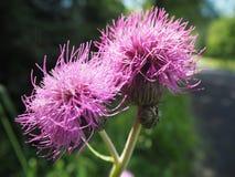 Fiore del cardo selvatico di cotone su fondo confuso immagini stock libere da diritti