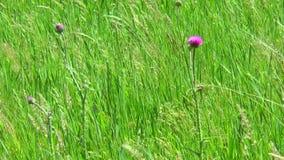Fiore del cardo selvatico fra l'erba archivi video