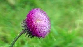 Fiore del cardo selvatico su un gambo video d archivio