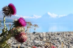 Fiore del cardo selvatico sul lago e montagna in Nuova Zelanda immagini stock