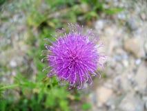 Fiore del cardo selvatico vicino a fango Vulcanoes Immagine Stock