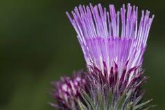 Fiore del cardone Fotografia Stock