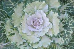 Fiore del cavolo Immagine Stock