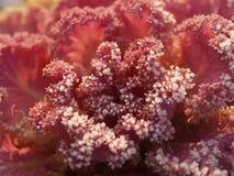 Fiore del cavolo Fotografie Stock Libere da Diritti