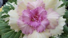 Fiore del cavolo Fotografia Stock