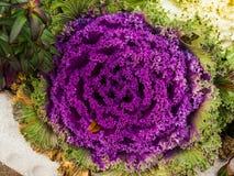 Fiore del cavolo Immagini Stock Libere da Diritti