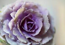 Fiore del cavolo su fondo astratto immagini stock