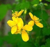 Fiore del Celandine immagini stock libere da diritti