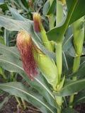 Fiore del cereale Fotografia Stock Libera da Diritti