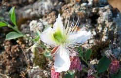 Fiore del cespuglio del cappero Immagini Stock Libere da Diritti