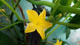 Fiore del cetriolo Immagine Stock Libera da Diritti
