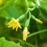 Fiore del cetriolo che cresce sui letti nel giardino Fotografia Stock Libera da Diritti