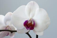 Fiore del chiaretto e di bianco di un'orchidea Fotografia Stock