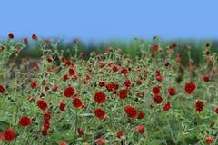 Fiore del chiloense del Geum Fotografia Stock Libera da Diritti