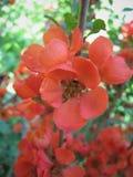 Fiore del cidonium Fotografia Stock Libera da Diritti