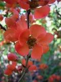 Fiore del cidonium Fotografia Stock