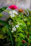 Fiore del cielo Fotografia Stock