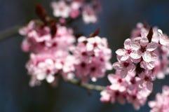 Fiore del ciliegio Immagine Stock Libera da Diritti
