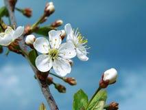 Fiore del ciliegio Immagini Stock