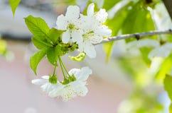 Fiore del ciliegio alla molla Immagini Stock Libere da Diritti