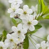 Fiore del ciliegio con il primo piano del fondo del bokeh, DOF basso, fuoco selettivo Fotografia Stock Libera da Diritti
