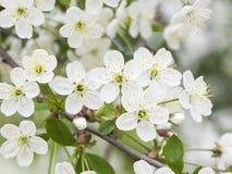 Fiore del ciliegio con il primo piano del fondo del bokeh, DOF basso, fuoco selettivo Fotografie Stock Libere da Diritti