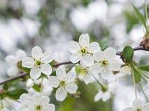 Fiore del ciliegio con il primo piano del fondo del bokeh, DOF basso, fuoco selettivo Fotografie Stock