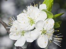 Fiore del ciliegio con il primo piano del fondo del bokeh, DOF basso, fuoco selettivo Immagine Stock Libera da Diritti