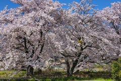 Fiore del ciliegio di rosa giapponese Immagini Stock Libere da Diritti