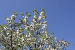 Fiore del ciliegio nel tempo di primavera con cielo blu immagine stock