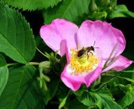 Fiore del cinorrodo Fotografia Stock