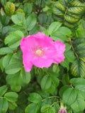 Fiore del cinorrodo in fogliame verde Fotografie Stock