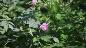 Fiore del cinorrodo nel sole stock footage