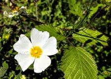 Fiore del cistus Immagine Stock