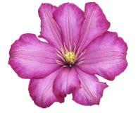 Fiore del Clematis Fotografia Stock