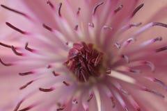 Fiore del Clematis Immagini Stock Libere da Diritti