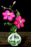 Fiore del Clematis in vaso Immagini Stock Libere da Diritti