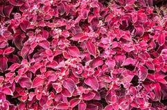Fiore del coleus in autunno Immagini Stock Libere da Diritti