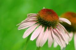 Fiore del cono Immagini Stock